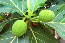 Breadfruit Tree In Garden, Bre...