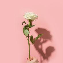One White Rose Flower In Femal...