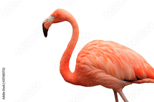 Photographie Bust-up photo of flamingo viewed from the side | Cutout white background