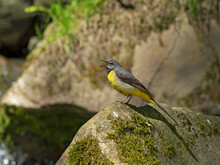 The Grey Wagtail (Motacilla Cinerea) Is A Member Of The Wagtail Family, Motacillidae. Gray Wagtail (Motacilla Cinerea) In A Typical Breeding Ecosystem.