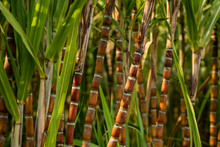 Sugarcane Planted To Produce S...