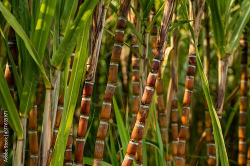 Fotografie, Obraz Sugarcane planted to produce sugar and food