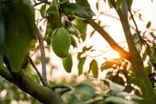 Green Mangoes On The Tree. Man...