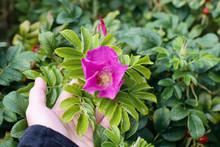 Flower Of Dogrose Growing In N...