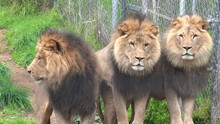Three Male Lions Standing Side...