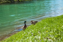 High Angle Shot Of Cute Ducks ...