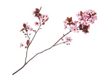 Blossoming Branch With Pink Ch...