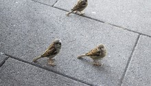 High Angle Shot Or Three Sparrows On A Grey Brick Pavement
