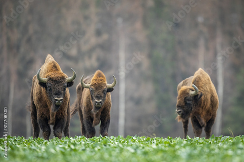 European bison - Bison bonasus in the Knyszyn Forest (Poland) Canvas-taulu