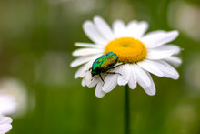 Large Green Chafer Beetle On A White Daisy Collects Nectar Pollination Close-up