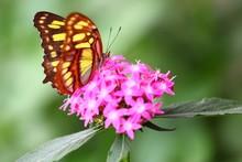 Shallow Focus Shot Of An Orange White Butterfly Perched On Pink Santan Flowers