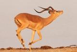 Fototapeta Sawanna - Closeup shot of a gazelle galloping on the savanna plain in Namibia