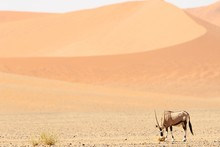 Panoramic Shot Of A Gemsbok Standing On A Savanna Plain With Sand Dunes In The Background