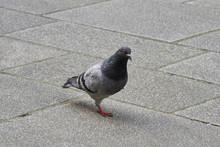 Faune Des Villes , Pigeon Roucoulant .
