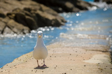 Seagull By The Sea, Looking At The Camera