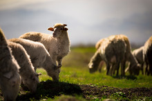 Sheep Herd And One Sheep Is Lo...