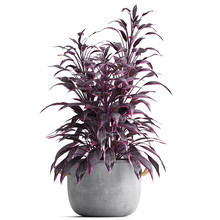 Exotic Plants A Cordyline Iso...