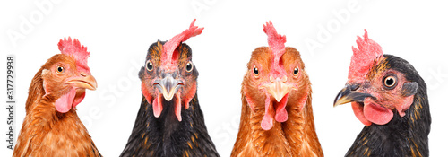 Foto Portrait of four hens, closeup, isolated on a white background