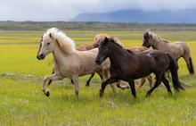 Herd Of Icelandic Horses In Horsetrip