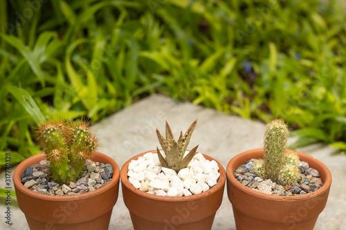 Dos cactus y una suculenta en macetas de arcilla con cesped al fondo Canvas Print