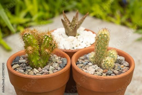 Dos cactus en maceta de arcilla con suculenta y cesped al fondo Canvas Print