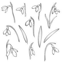 Vector Snowdrops Set. Hand Drawn Snowdrops Flowers On White Background.