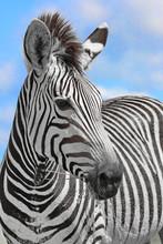 Zebra Portrait 8736 Ck