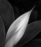 macro dramatic black and white agave succulent - 317749596