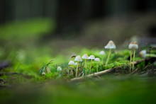 Muschrooms Growing In A Moss