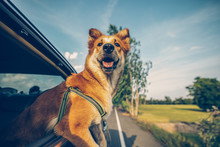Dog Looks Out Of Car Window An...
