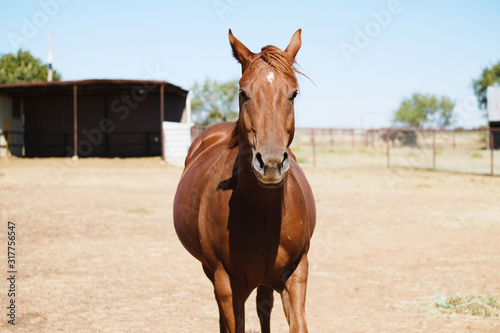 Young brown quarter horse on farm looking at camera close up.