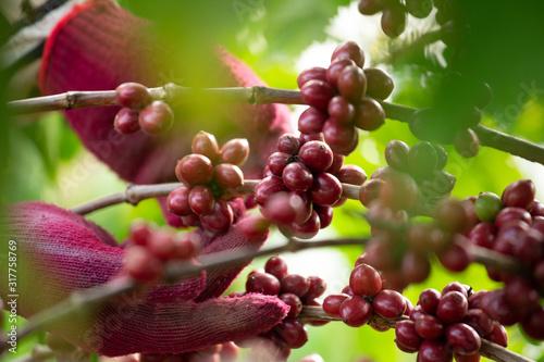 Obraz Coffee farmer picking ripe robusta coffee berries for harvesting - fototapety do salonu