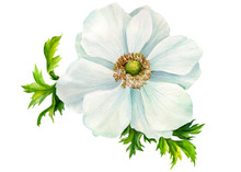 White Anemone Flower On An Iso...