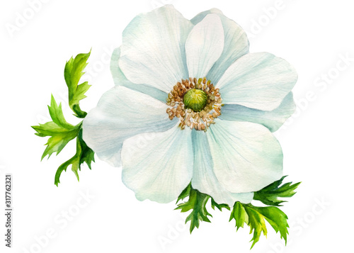 White anemone flower on an isolated  background, watercolor illustration, hand d Canvas Print
