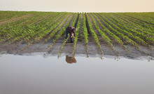 Farmer Touching And Examining Young Green Sunflower Plants In Mud And Water, Damaged  Field After Flood