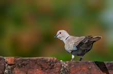 A Eurasian Collared Dove In Royal Lighting On A Brick Wall