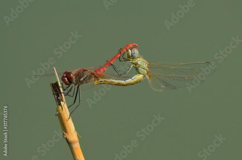 Dragonfly (Anisoptera), Jezreel Valley. Canvas Print