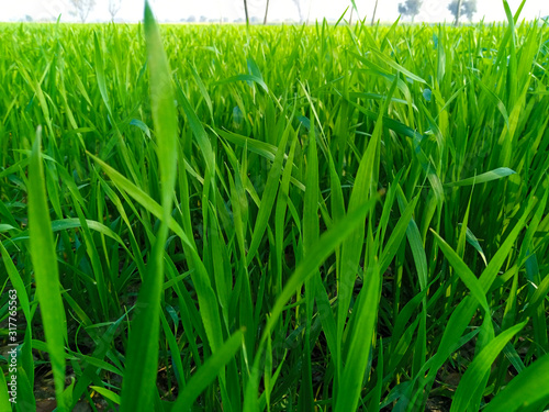 Obraz Young wheat seedlings growing in a field - fototapety do salonu