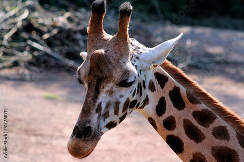 Scheue Giraffe. Canvas Print