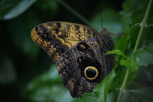 Forest Giant Owl Butterfly Sitting On Leaf, Close-Up Profile
