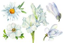 Set Of White Flowers Daisy, Ma...