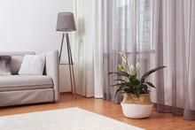 Beautiful Peace Lily In Wicker Pot Near Window Indoors. Interior Design Idea