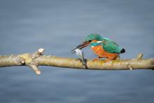A Male Kingfisher, Alcedo Atth...