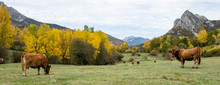 Cows Grazing. Panoramic In Aut...