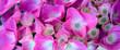 canvas print picture - Pink Hydrangea background. Macro photo.