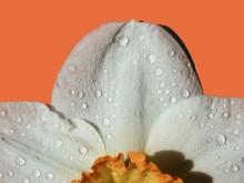 Cropped Image Of Wet White Daffodil On Orange Background