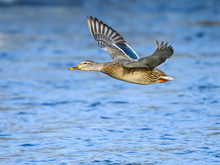 Male Mallard In Flight Over Ri...