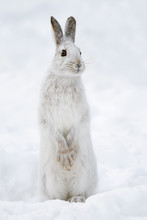 White Snowshoe Hare Standing On Snow In Winter