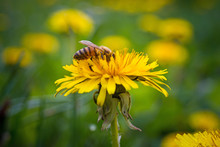 A Bee Pollinates A Yellow Dandelion Flower In The Garden