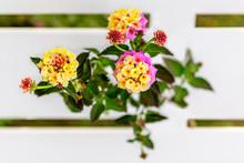 Colorful Shrub Lantana Camara ...